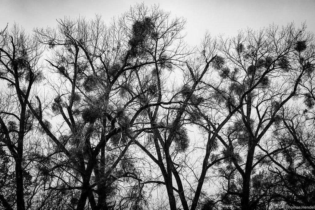 Mistletoes.